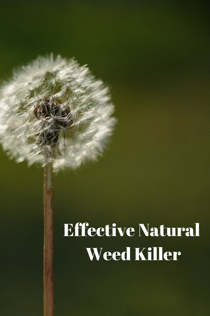 A cheap, natural weed killer that you probably already have in your house.... #earthday #banroundup #weeds #gardening @godschicki